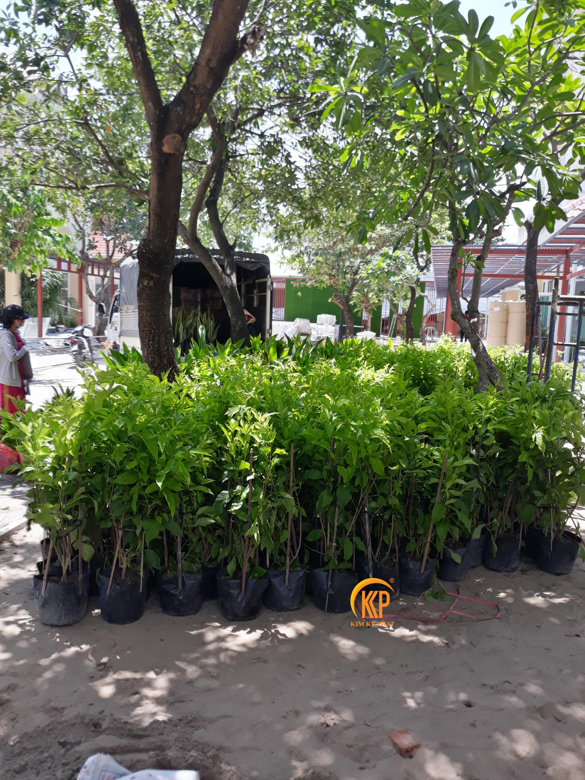các loại cây xanh và chậu cây cho dự án